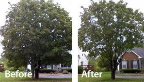 Tree Trimming befor and after Xenia Ohio